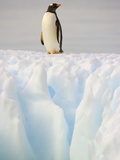 Gentoo Penguin on Ice Floe on the Antarctic Peninsula