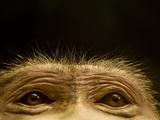 Eyes of Chacma Baboon