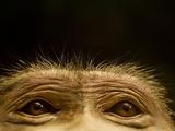 Eyes of Chacma Baboon