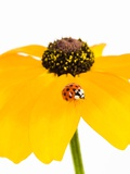 Ladybug on Black-eyed Susan