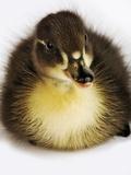 Call Duck Duckling