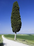 Cypress Tree by Unpaved Road