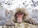 Japanese Snow Monkey in Hot Spring in Winter