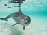 Bottlenose Dolphin