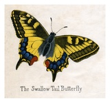 The Swallow Tail Butterfly