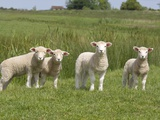 Lambs in Field