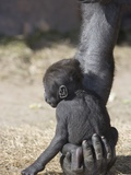 Baby Gorilla Sitting on Mother's Hand