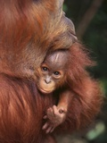 Orangutan and Baby