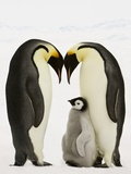 Emperor Penguins Protecting Chick