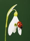 Ladybug on Snowflake Flower