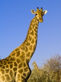 Giraffe in Etosha National Park