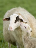 Sheep with Lamb
