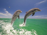 Bottlenosed Dolphins Leaping in Caribbean Sea