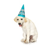 Lab Puppy Wearing Birthday Hat