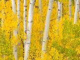 Trees and Autumn Foliage Papier Photo par John Eastcott & Yva Momatiuk
