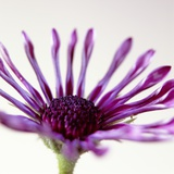 Close-up of a Purple African Daisy