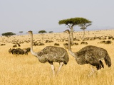 Ostriches and Wildebeests