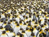 Adult King Penguins on South Georgia Island Papier Photo par John Eastcott & Yva Momatiuk