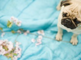 Pug on a Turquoise Blanket