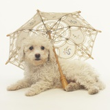 Bichon Frise and Parasol