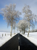 Birch Trees on Side of Road in Winter