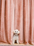 Poodle Looking from Behind Curtain