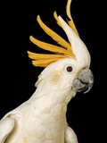 Cockatiel