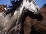 Frightened Wild Mustangs Galloping