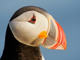 Close-Up of Atlantic Puffin