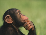 Chimpanzee Resting Chin in Hand