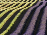 Partially Harvested Lavender Field in Provence