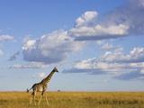 Giraffe on the African Savanna