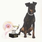 Manchester Terrier with Trophy