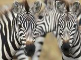 Zebras in Masai Mara National Reserve
