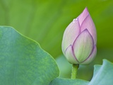 Water Lily Bud in Shinobazu Pond in Tokyo