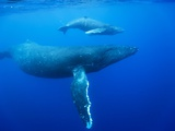 Humpback Whale Cow and Calf Underwater