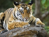 Bengal Tiger Cub Lying on Rock