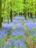 Path and Bluebells in Forest