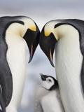 Emperor Penguins and Chick in Antarctica Papier Photo par Paul Souders
