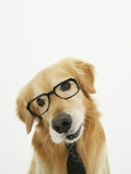 Golden Retriever Wearing Eyeglasses and Necktie