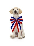 Lab Puppy Wearing Patriotic Bow Tie