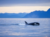 Orca or Killer Whale in Frederick Sound