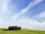 Stand of Cypress Trees in Meadow