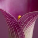 Close-up of Calla Lily