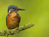Common Kingfisher Perching
