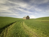 Old Barn in Wheat Field