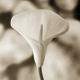 Calla Lily Against White Rocks