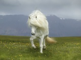 Icelandic Pony
