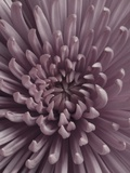 Close-Up of Faded Pink Chrysanthemum