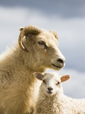 Adult Icelandic Sheep with Lamb